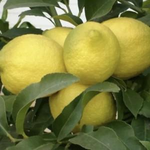 Limones Eureka